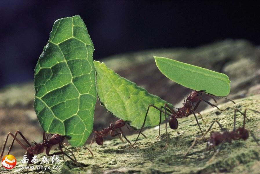 疯狂的切叶蚁图片