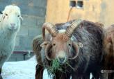"""新疆阿勒泰现""""四角""""怪羊 上下各两个"""