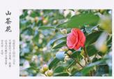 【岳西风光】茶花春色