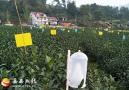 绿色防控示范助推岳西生态茶业发展