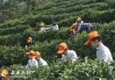 来榜公界尖千亩古茶园首届采茶文化节举办