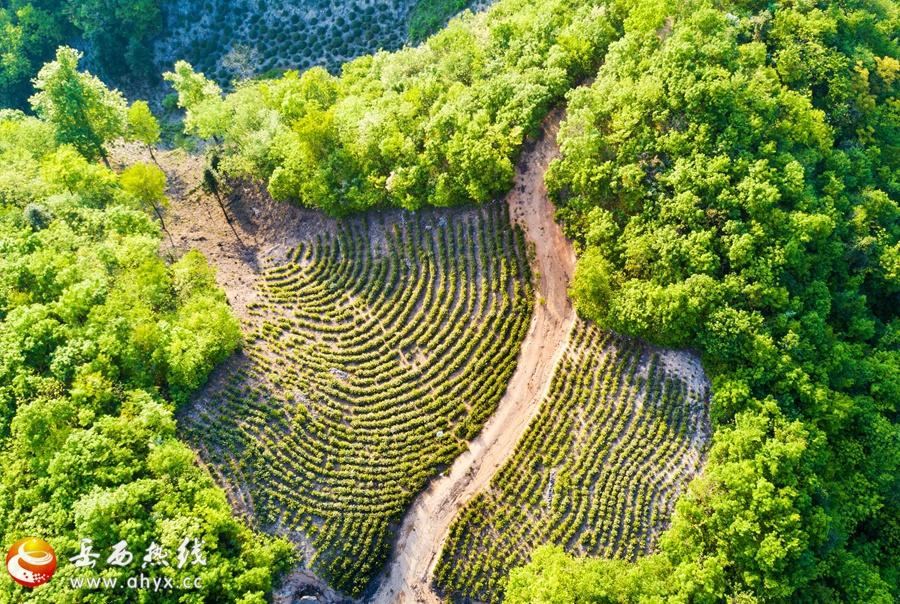 姚河乡第二届茶文化旅游节4月19日开幕