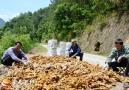大别山的小黄姜获丰收,仍有窖存未销售