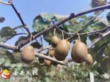 冶溪镇红心猕猴桃开园采摘